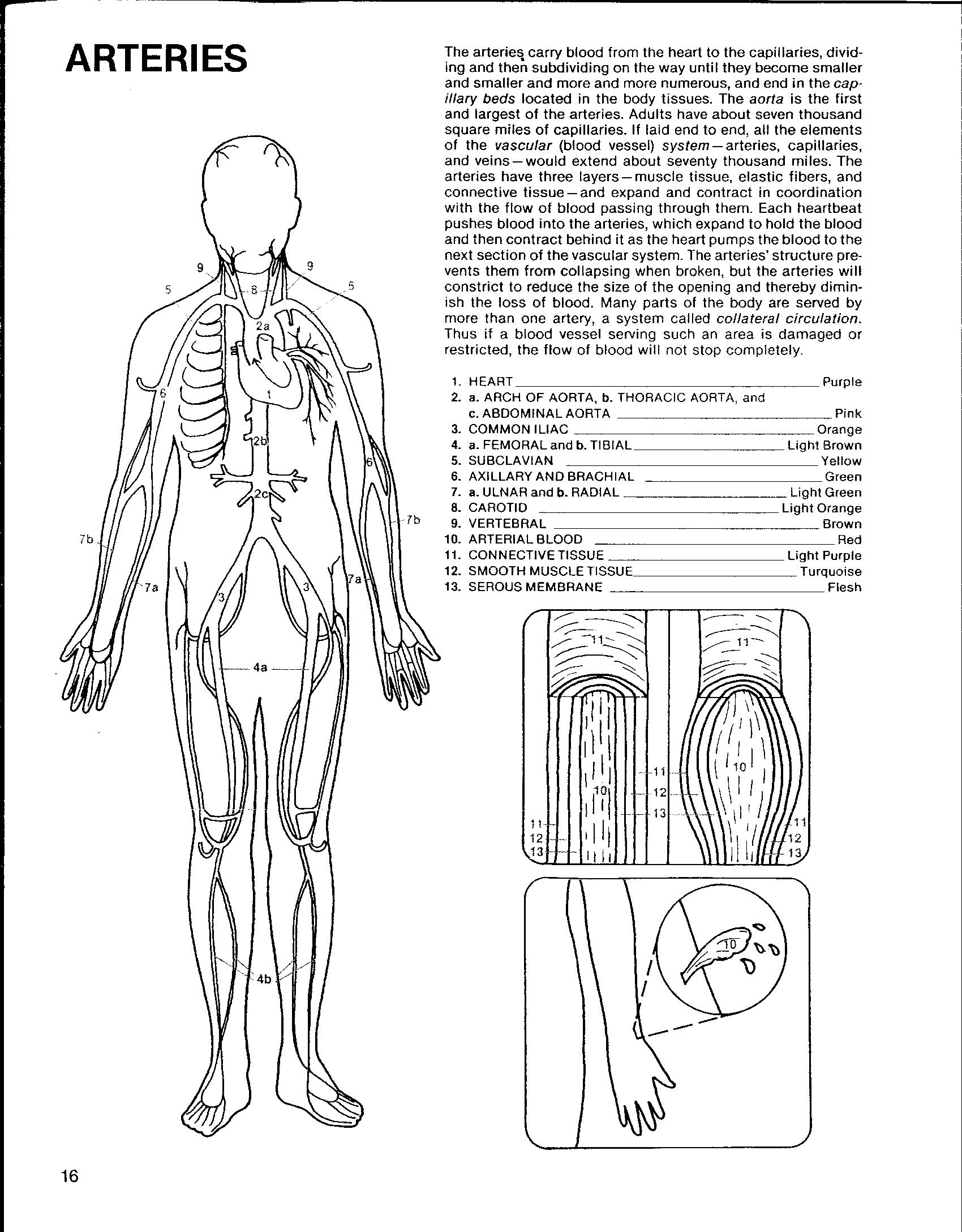 Human Circulatory System Worksheet Pictures To Pin On