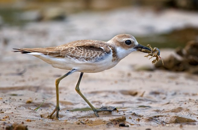Greater_Sand_Plover