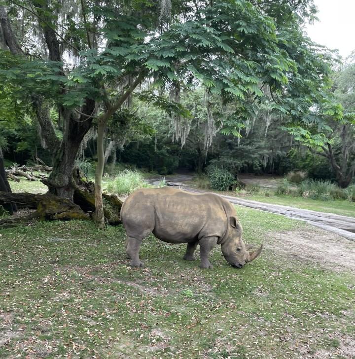 rhino animal kingdom