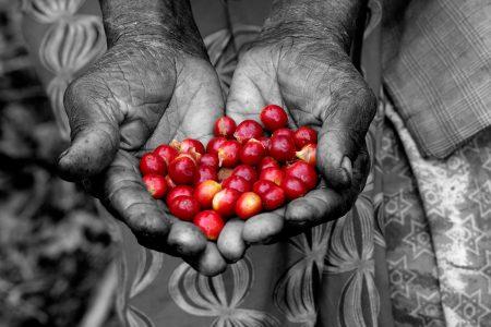 Coffee Cherries by Sean Lawson