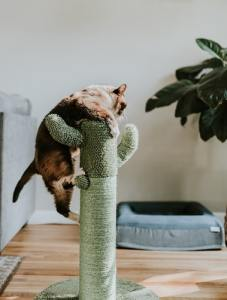 Your kitty climbing a cat tree that you bought after moving into a small apartment.