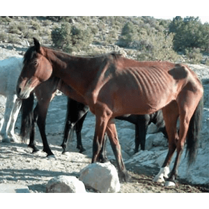 Wild-or-Feral-Horse-Population-Mismanagement-600x461