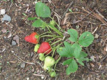 Plantar fresas en casa es facilísimo