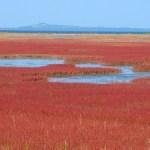 能取湖サンゴ草群落