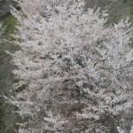 【すっかり春】桜並木を空撮してみました♪