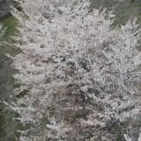 DJI, Spark, ドローン, 春, 空撮, 桜,桜並木
