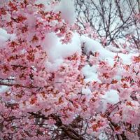 雪,季節外れ,安曇野,梅,梅の花,風景,azumino