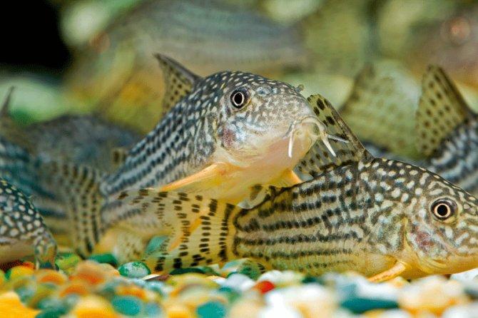 Corydoras punctatus cory catfish