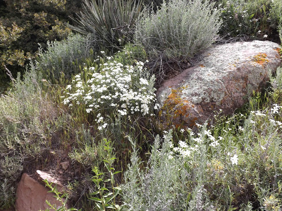 Superstition-flowers-2