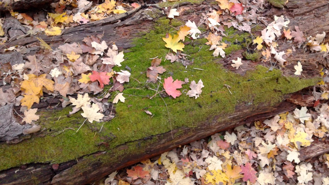 Colorful leaves on mossy log