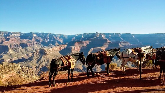mules resting on South Kaibab trail in the Grand Canyon
