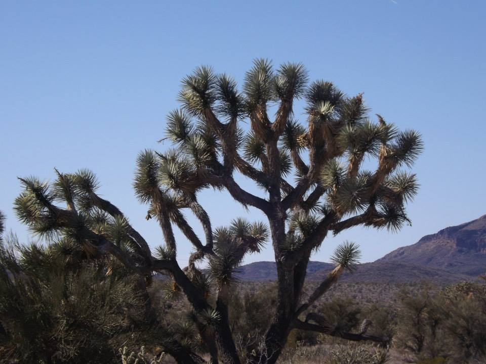 Tall Joshua Tree with blue sky in background