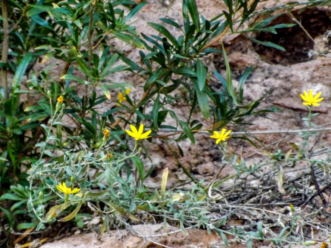 Small yellow flowers on plant with green stems.