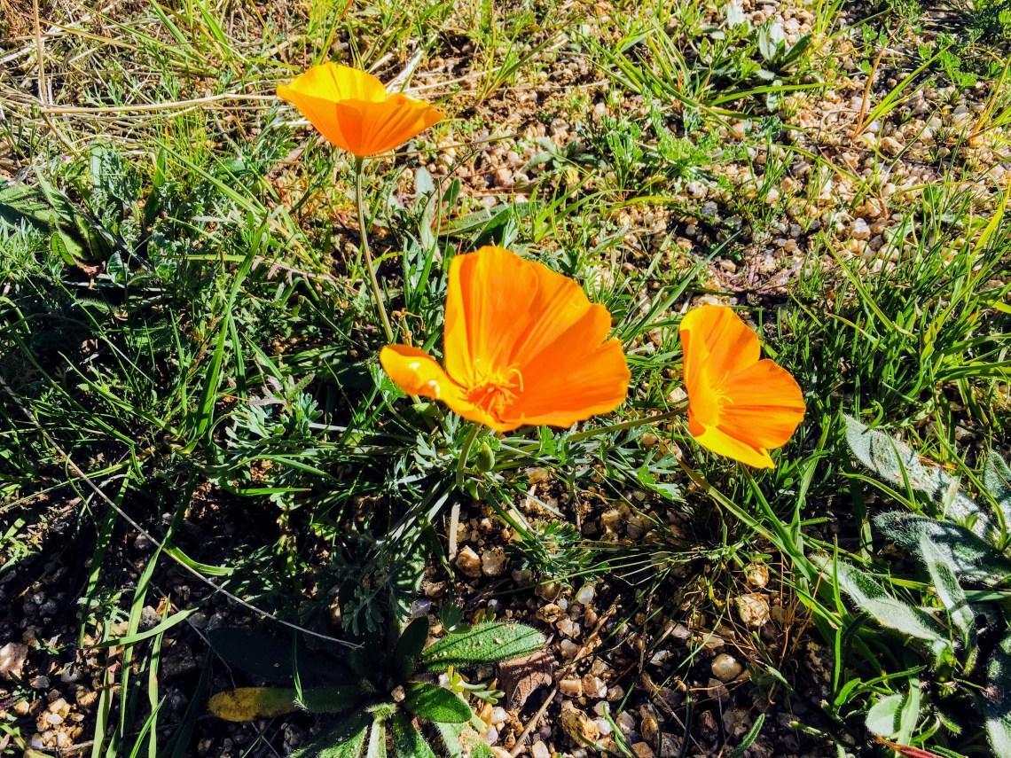 Bright orange poppie flower emerges from desert floor
