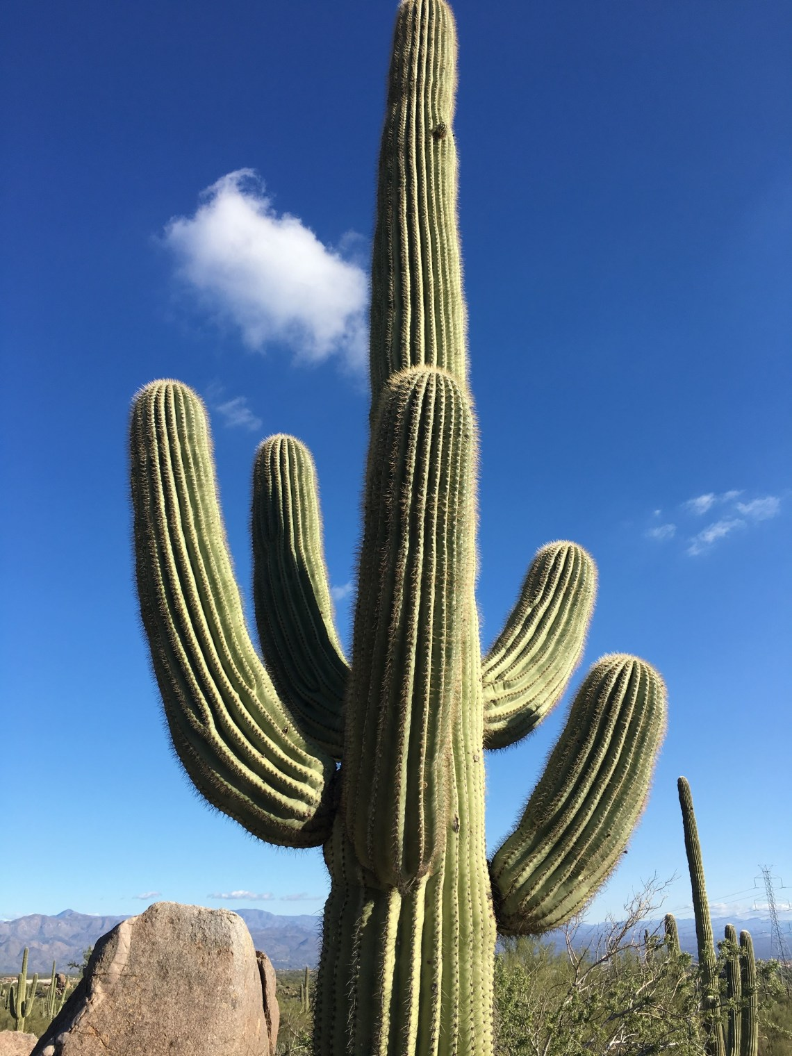 large saguaro cactus against backdrop of blue sky