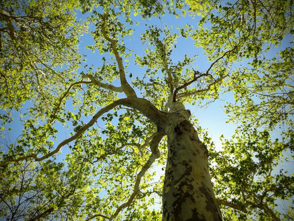 View of Arizona Sycamore tree from the base of trunk, looking up