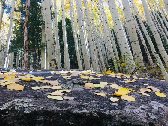 close up view of Lockett Meadow aspen leaves