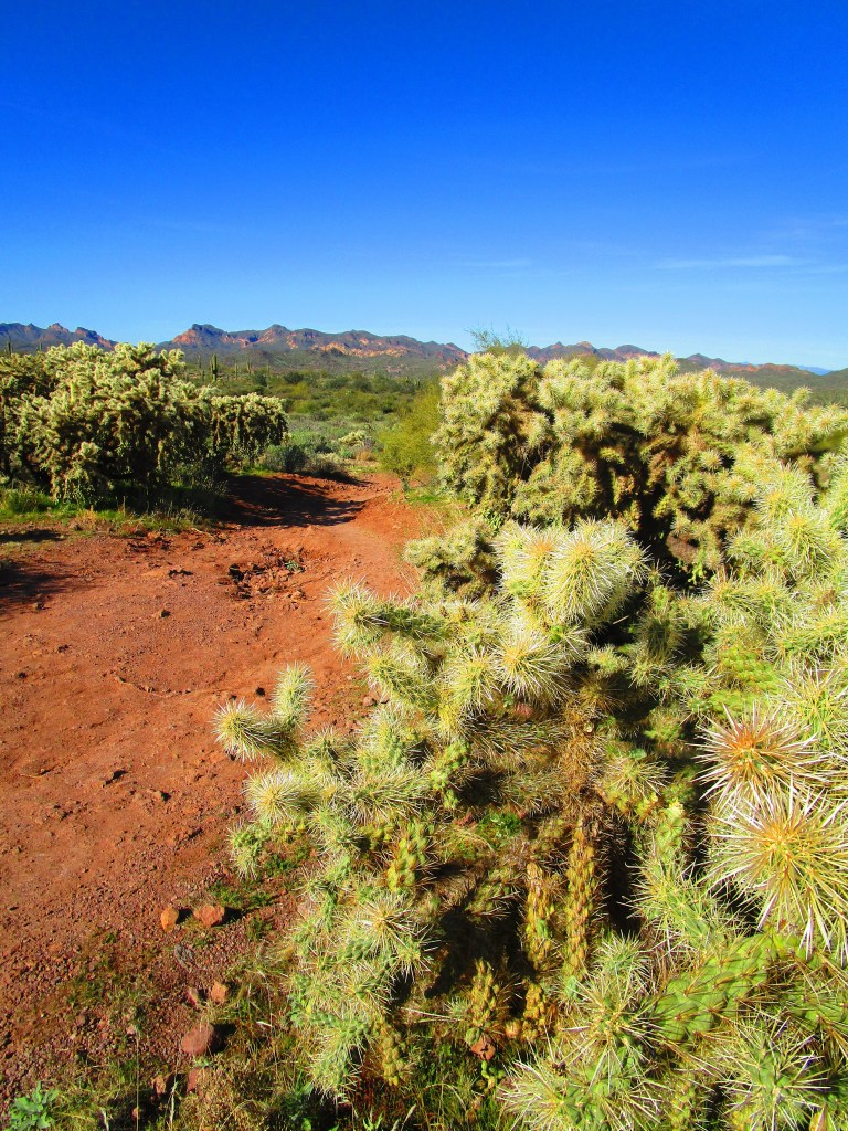 Cholla plants along red dirt trail