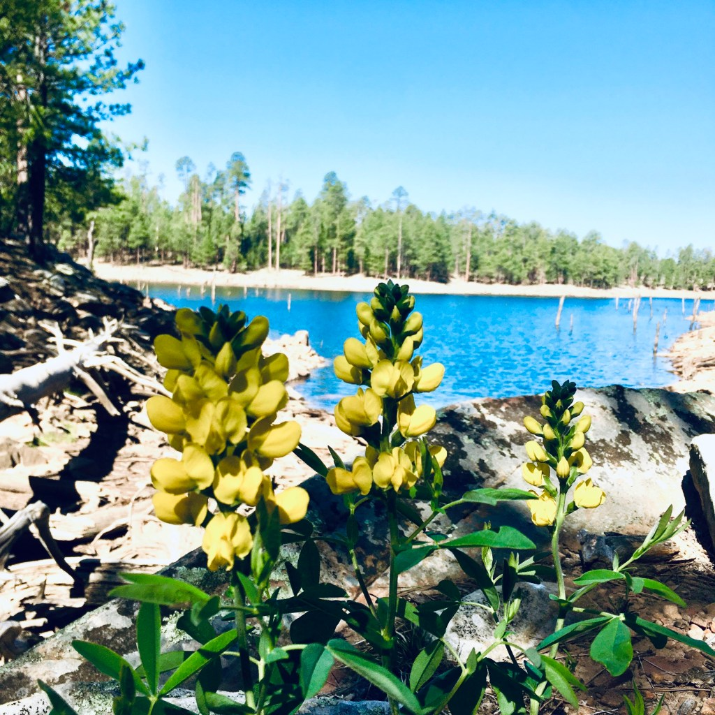 yellow flowers with lake in background