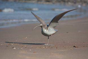 Curlew wings open