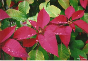 Poinsettia in the garden. Taken by Reginald J. Dunkley