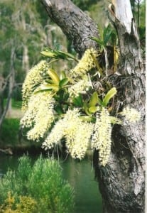 Native Tree orchid taken by Reginald J. Dunkley