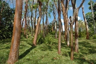 Cuban-red-trees