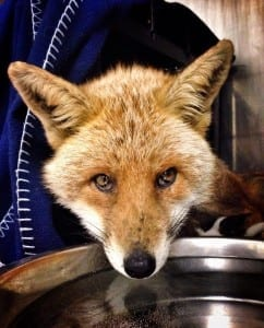 Adult Fox from Polegate