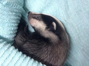 Baby Badger found near Cowbeach