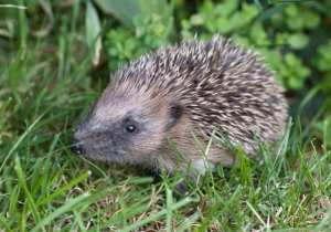 Hedgehogs in decline Photo courtesy of Alex Sharp