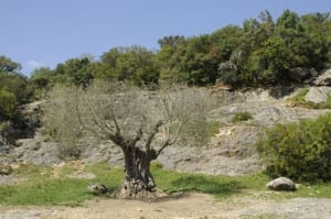 Olive tree at Pont du Gard