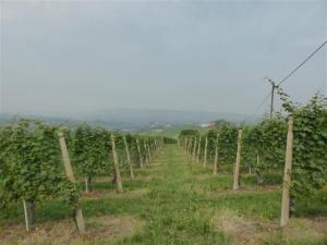 Rows of vines.