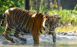 Dora a 4 year old female Samatran Tiger cools down in the water at Drayton Manor Theme Park, Fazeley near Tamworth as the UK weather hits its hottest day of the year.