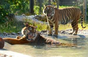 Dua a 11 year male Samatran Tiger and Dora a 4 year old female Samatran Tiger cool down in the water at Drayton Manor Theme Park, Fazeley near Tamworth as the UK weather hits its hottest day of the year.