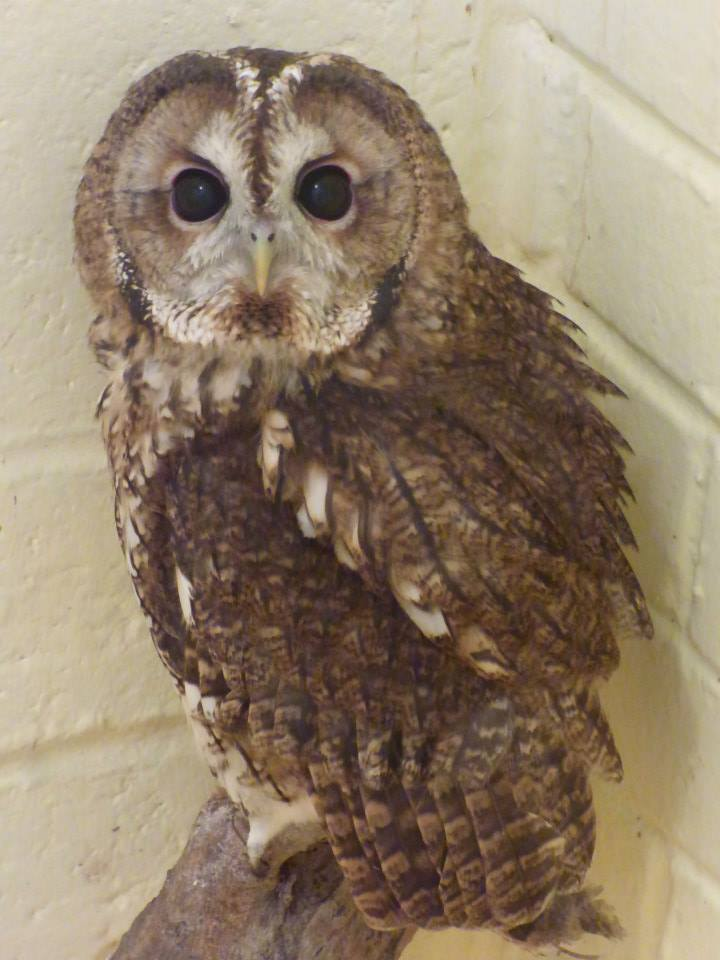 One of WRAS's orphaned Tawny Owls