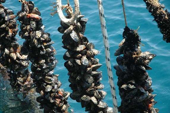 The mussels in Halkidiki