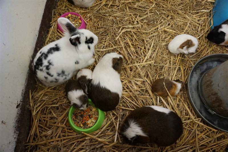 Baby rabbits & guineapigs