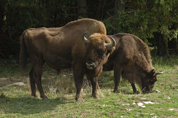 European bison grazing
