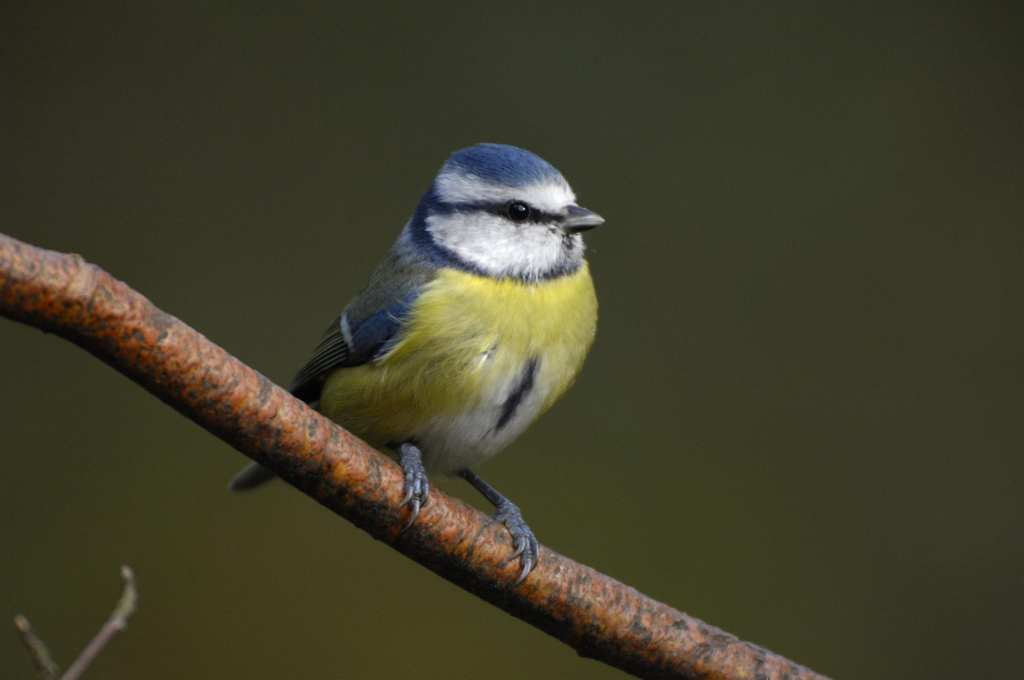Blue Tit. Photo Ray Kennedy rspb-images