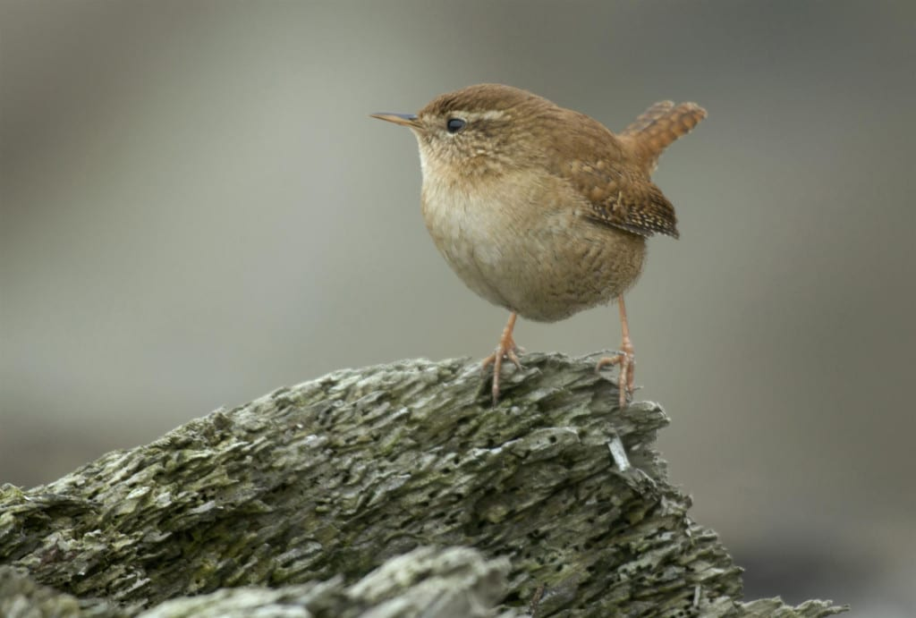 Wren. Photo_John Bridges rspb-images