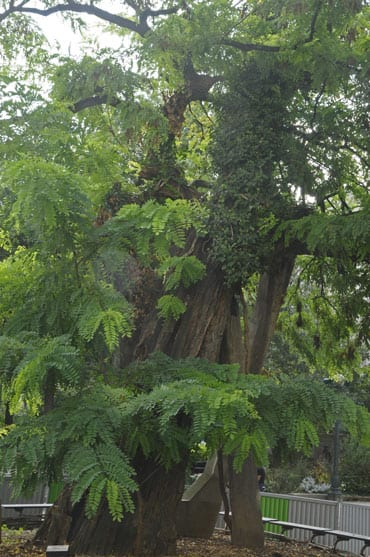 The oldest tree of Paris planted in 1601