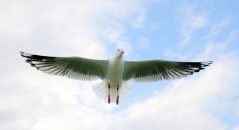 Seagull showing how flying  is done. Taken by Reginald J. Dunkley