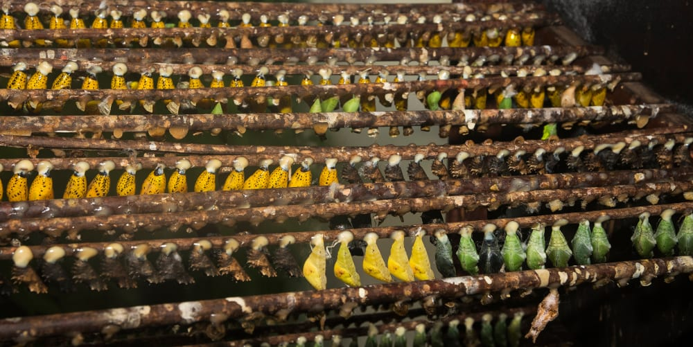 Stratford Butterfly Farm 2015 Racks-of-the-butterfly-pupae