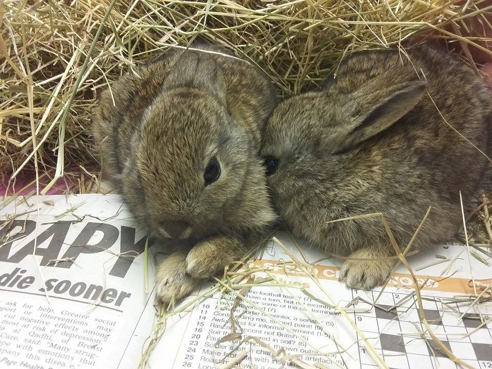 Two catted rabbits from Polegate