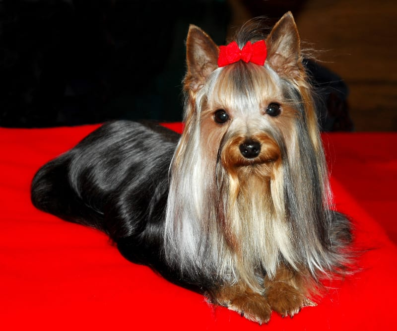 A favourite of photographer Rob Tysall, the Yorkshire Terrier