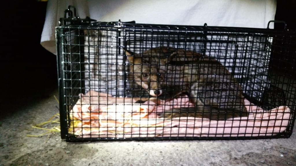 Frammel the Fox about to be released
