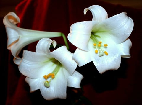 Easter Lily from the garden. Taken by Reginald J. Dunkley