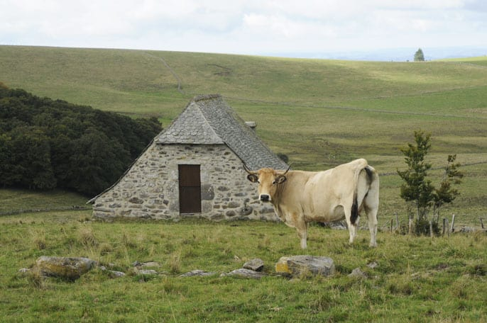 Famous Aubrac cow in upland meadows