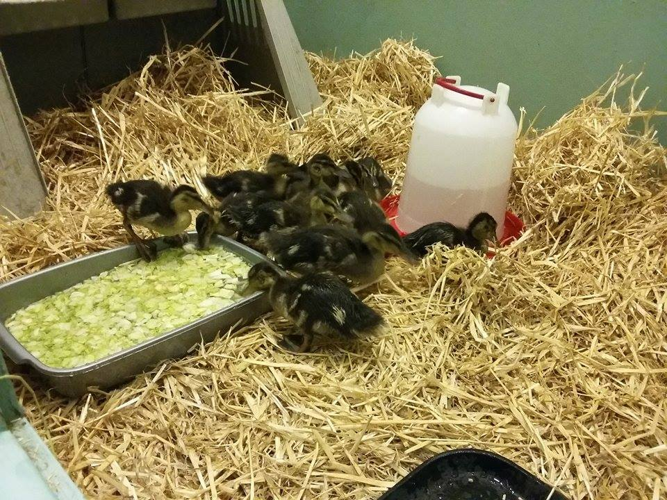 Duckling in care