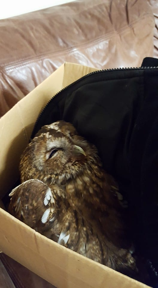 oad Casualty Tawny Owl from Beachy Head